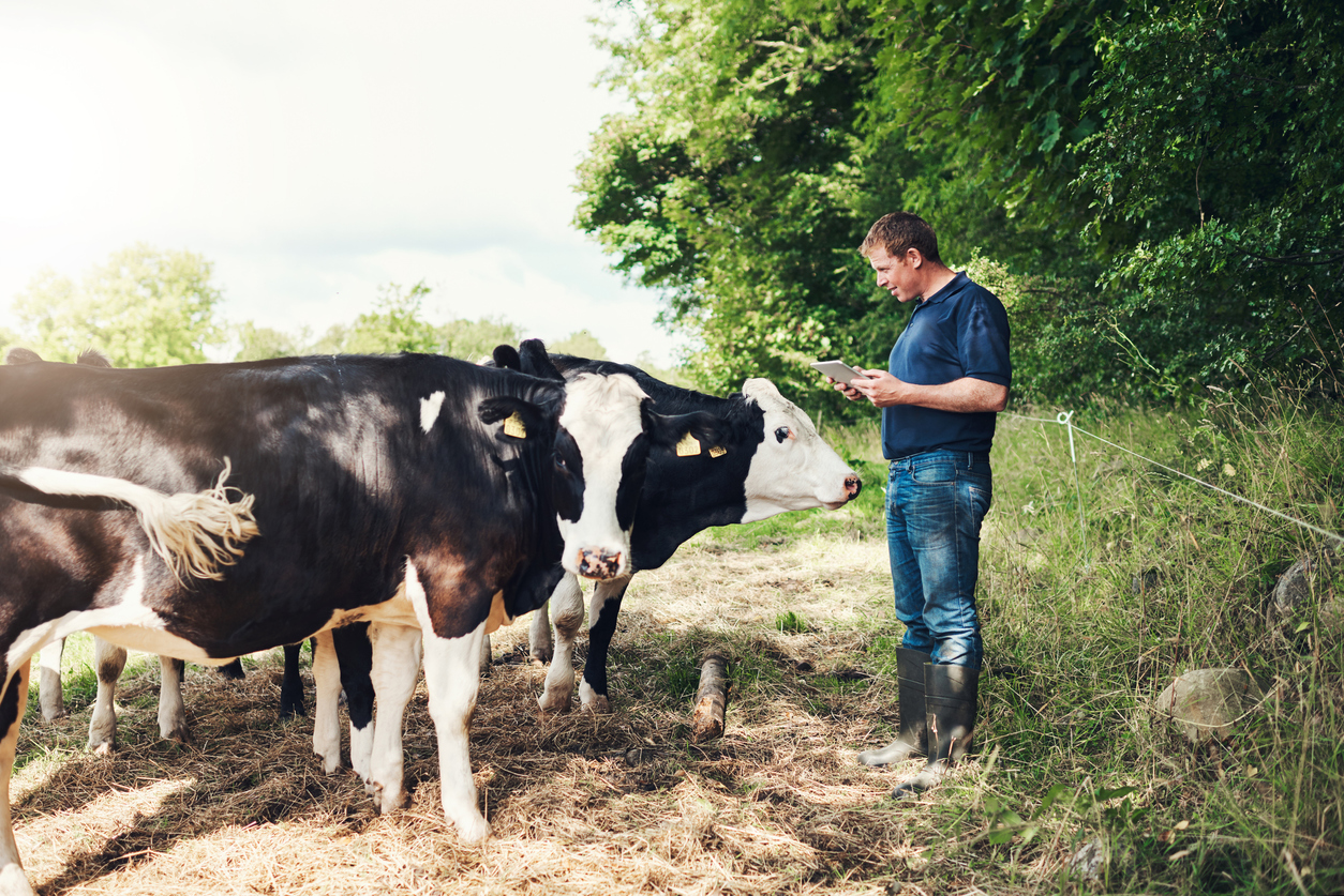 Farmer in field on iPad with his cows joining him
